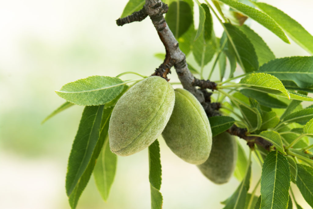 Almonds growing on a tree. Almonds are high in protein and naturally gluten-free.