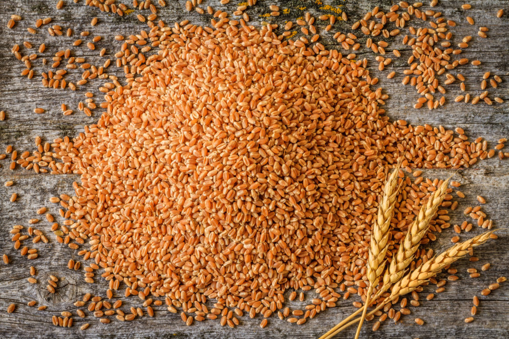 Red Fife is an ancient variety of wheat; ancient grains; nonGMO