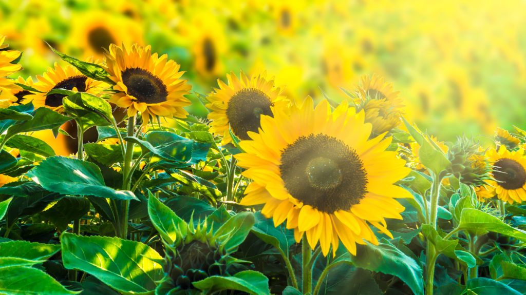 Sunflower seeds and sunflower oil are naturally gluten-free and nonGMO