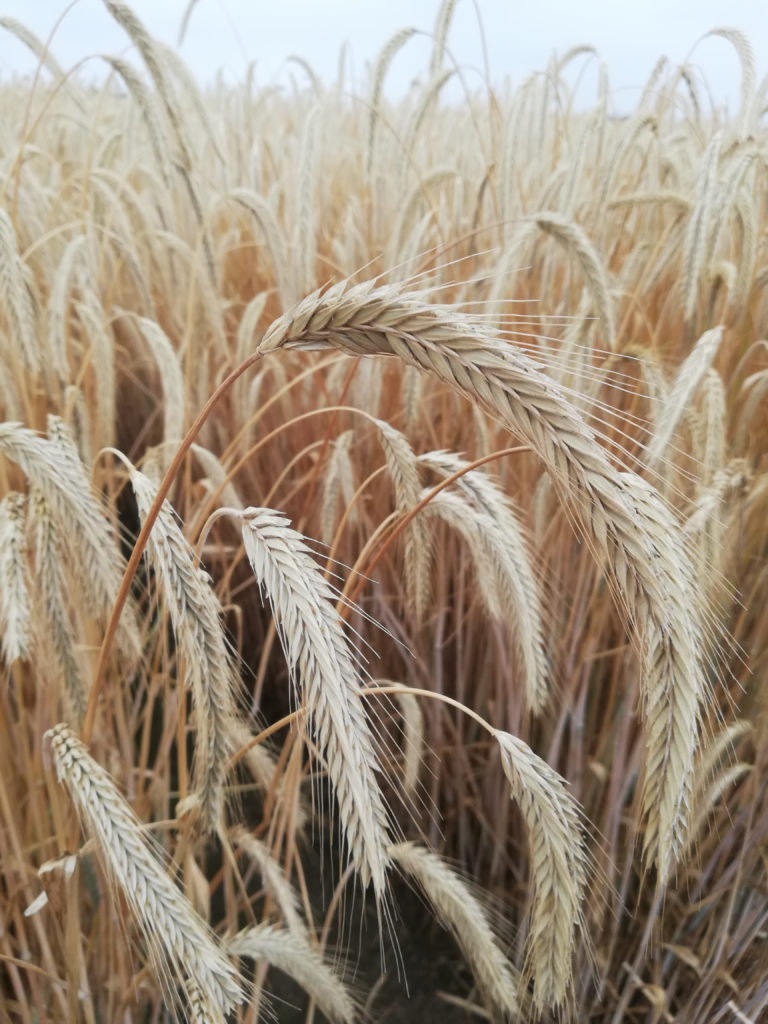 Triticale is a cross between wheat and rye and is an ancient grain